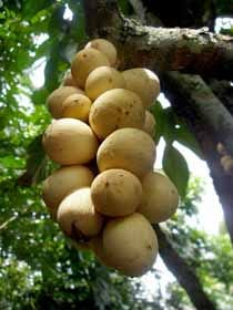 The Lanzones Fruit
