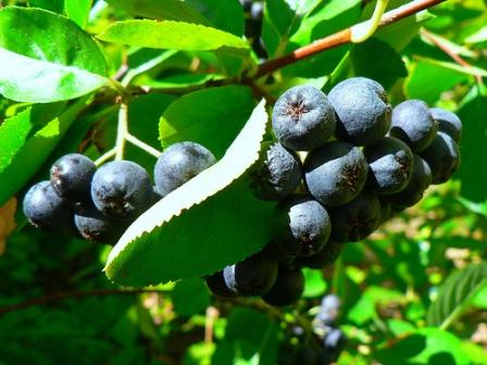 Aronia Berries by OutdoorPDK