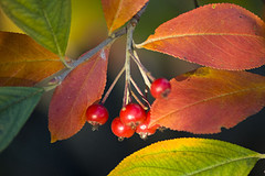 Aronia Berries by Gary (Duboman01)