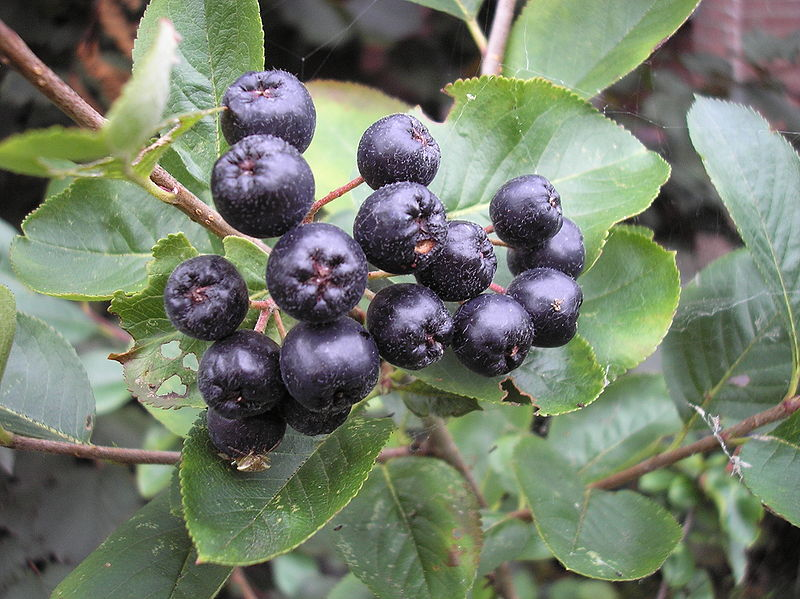 Aronia berries on the bush