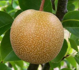 nashi pear, or Asian pear