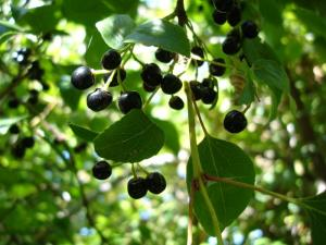 What is the Maqui Berry