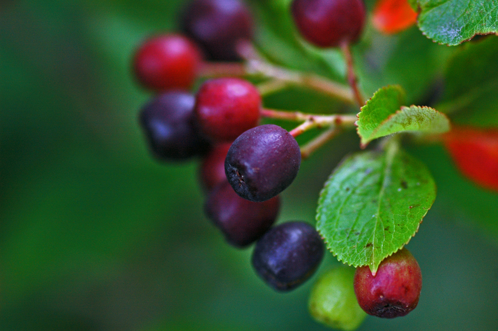 Aronia Berries by Birgit F
