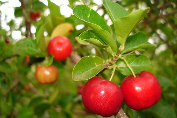 Acerola, the Mighty Antioxidant Cherry