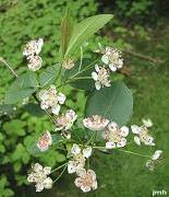 Aronia Flowers