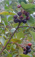 Aronia Berry or Chokeberry