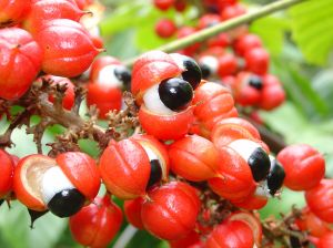 Guarana, The Other Coffee