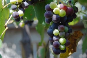 A Cure for Cancer and Diabetes in Grapes