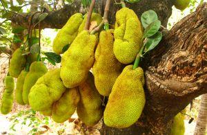 Jackfruit of All Trades