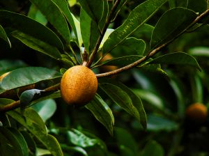 The Chico or Sapodilla Fruit