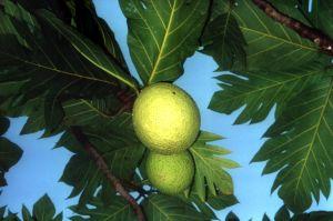 Breadfruit, Source for Fiber