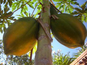 Papaya and Pregnancy