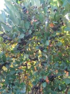 Blazerfarmz - buy aronia berry