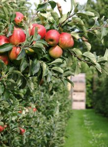 Apple Orchards in Minnesota