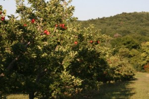 Apples on Trees at Hirsch Fruit Farm