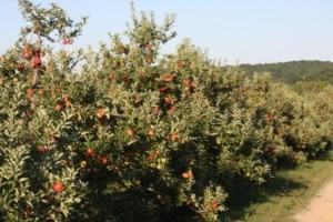 Apple Picking at Hirsch Fruit Farms