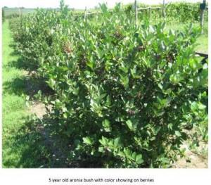 aronia berry  bush