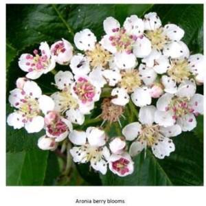 aronia berry blossom