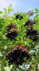 Aronia Berries on Plant