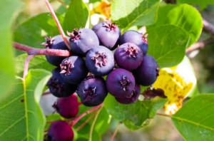 Saskatoonberry – More Than Just a Cool Sounding Name