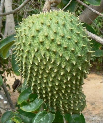 Fresh Guanabana Soursop Graviola