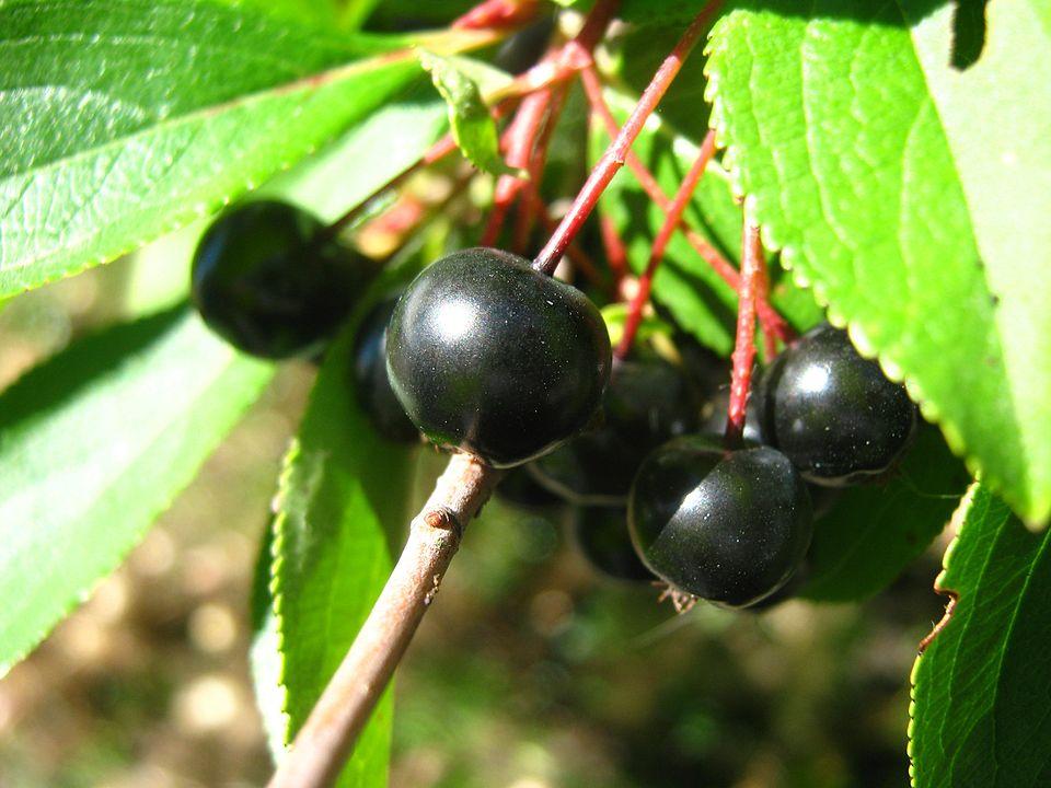 Aronia Berries 960px-Chokeberries