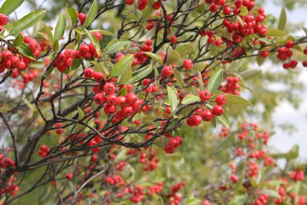 Health Benefits of Aronia Berry Red Choke-Berries-IMG_2431_051013_121714
