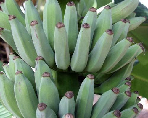 MUSA - Banana - Dwarf NAMWA - Lady Finger Banana