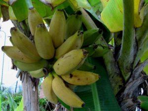 Musa Raja Pisang Banana Tre