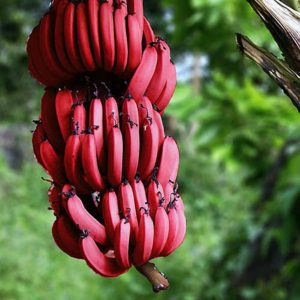 Banana Red Conventional