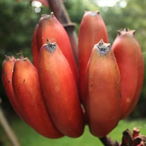 Red Banana Seeds Delicious Fruit Ornamental Plant Home Yard Office Decor Non-GMO Seeds Open Pollinated Seeds for Planting2
