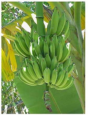 Seeds and Things Dwarf Cavendish Banana Tree