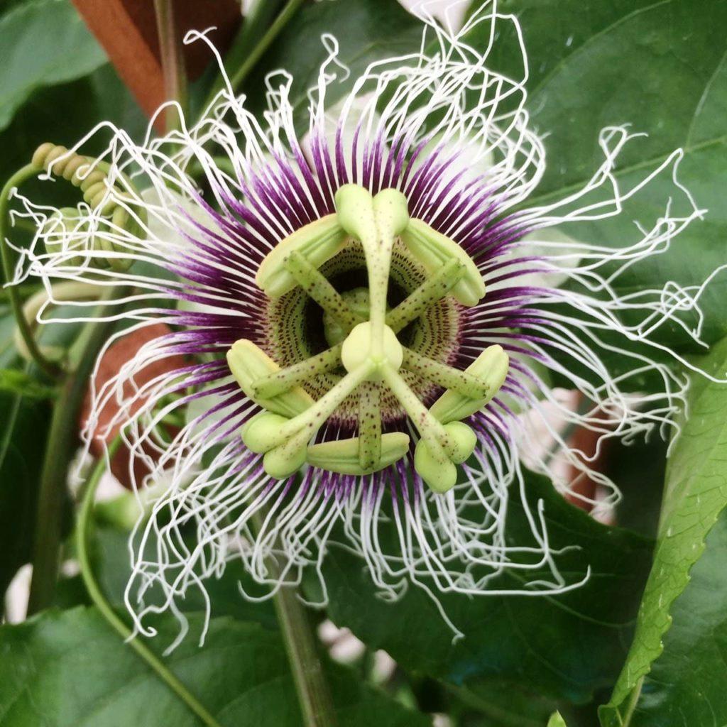 Passion Fruit Possum Purple Plant