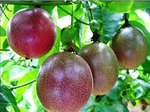 Passion Fruit Possum Purple Plant 2