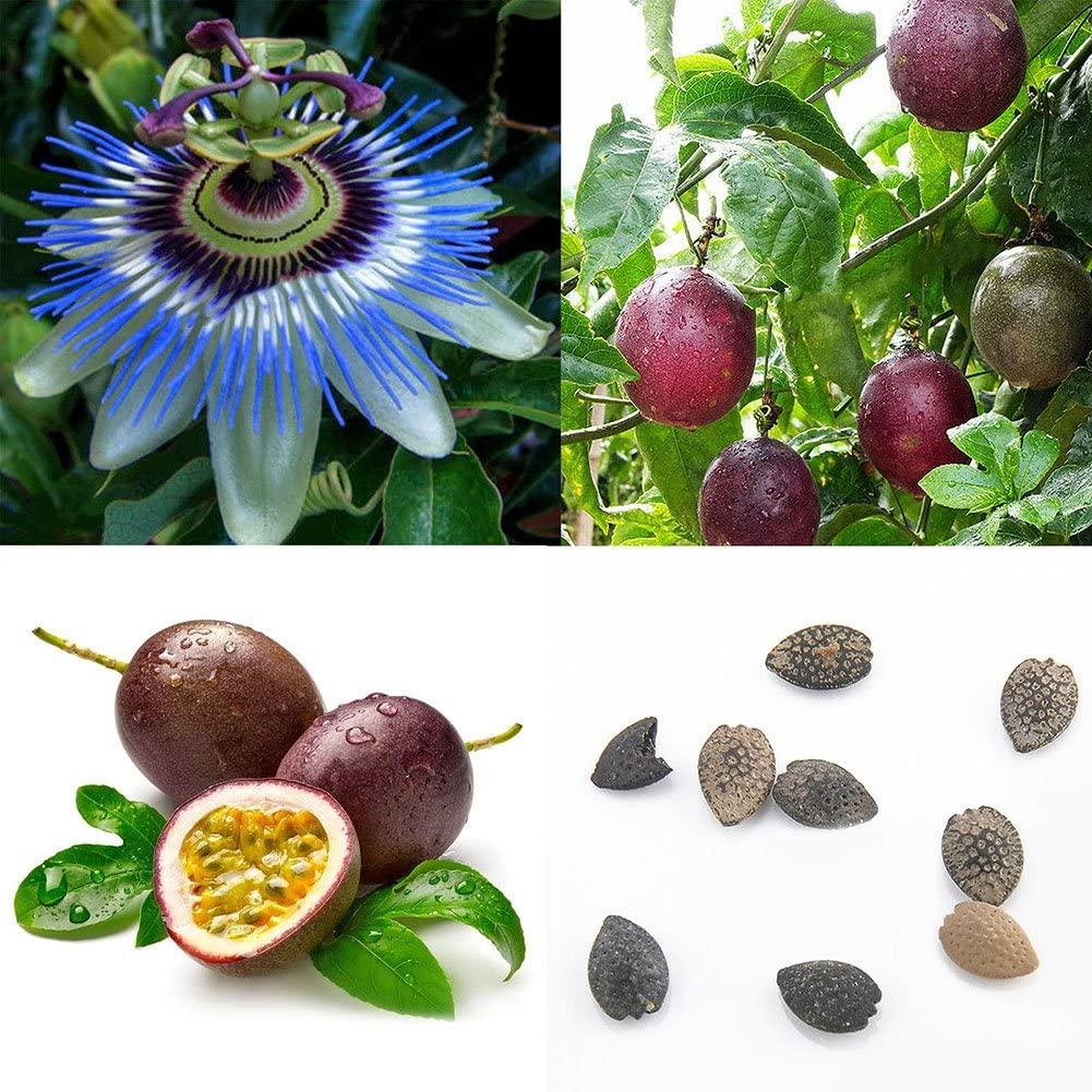 Passion Fruit Purple Passiflora Edulis Fruit Plant Seeds Garden Flower Plant Seeds 40Pcs Tropical Exotic Vine