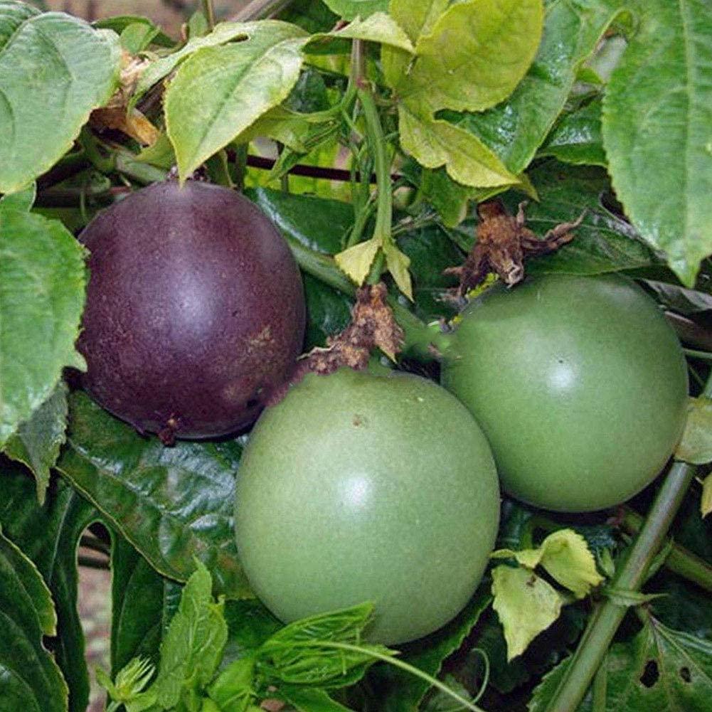 Passion Purple Passiflora Edulis Fruit Plant Seeds 2