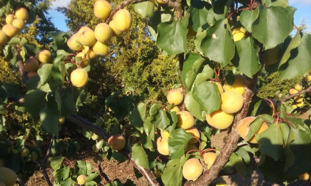 Apricots ripening in the Australian sun