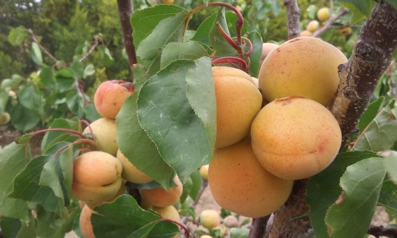 Peaches ripening on a tree in Australia