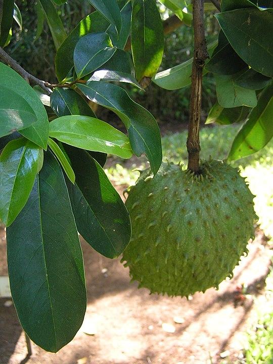 Annona_muricata_1 Soursop,_Annona_muricata Guyabano guanabana Brazilian paw paw custard apple and Evo graviola