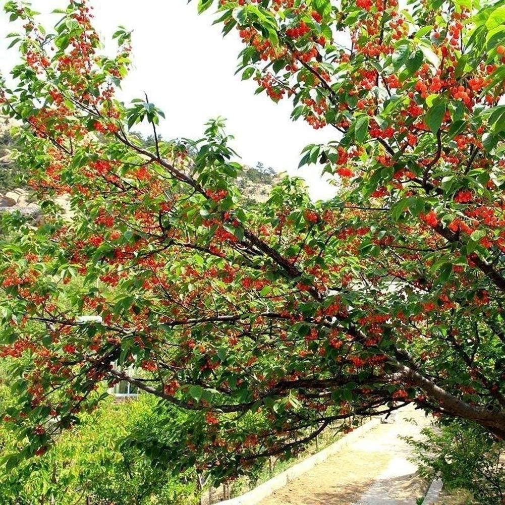 20Pcs Cherry Seeds Sweet Organic Non-GMO Edible Fruit Dwarf Bonsai Garden Decor - 20pcs Cherry Seeds 2