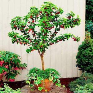 20Pcs Cherry Seeds Sweet Organic Non-GMO Edible Fruit Dwarf Bonsai Garden Decor - 20pcs Cherry Seeds