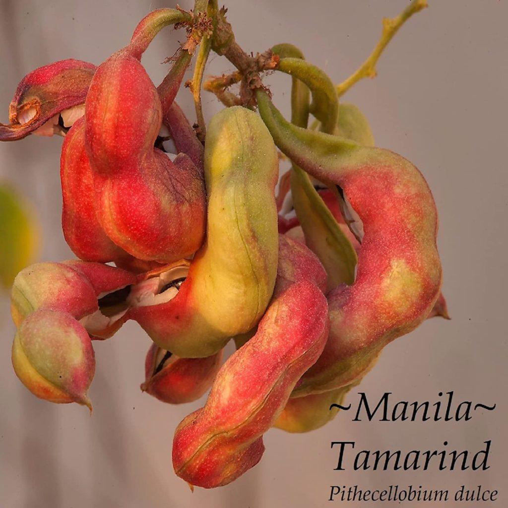 GUAMUCHIL Pithecellobium dulce RED MANILA TAMARIND Madras Thorn sml potd Plant