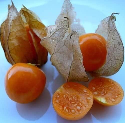 Physalis edulis live plant Inca Pineapple Golden Berry Cape Gooseberry