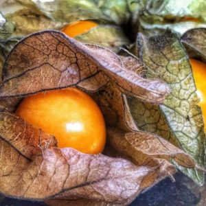 Poha Berry Physalis Peruviana Cape Gooseberry Edible Fruits Juicy Currant Organic Sweet Fruit Seeds High Nutritious Seeds Food Plant for Home Garden 3
