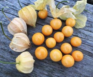 Poha Berry Physalis Peruviana Cape Gooseberry Edible Fruits Juicy Currant Organic Sweet Fruit Seeds High Nutritious Seeds Food Plant for Home Garden 4