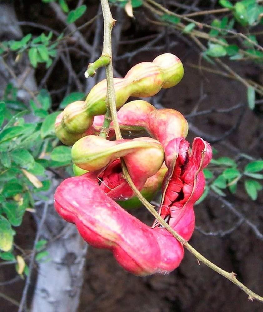 Red Guamuchil 50 Seeds Pithecellobium Dulce Tree Madras Thorn Manila Tamarind 2