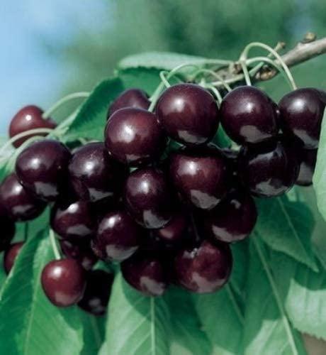 Sweet Black Tartarian Cherry Tree Seeds