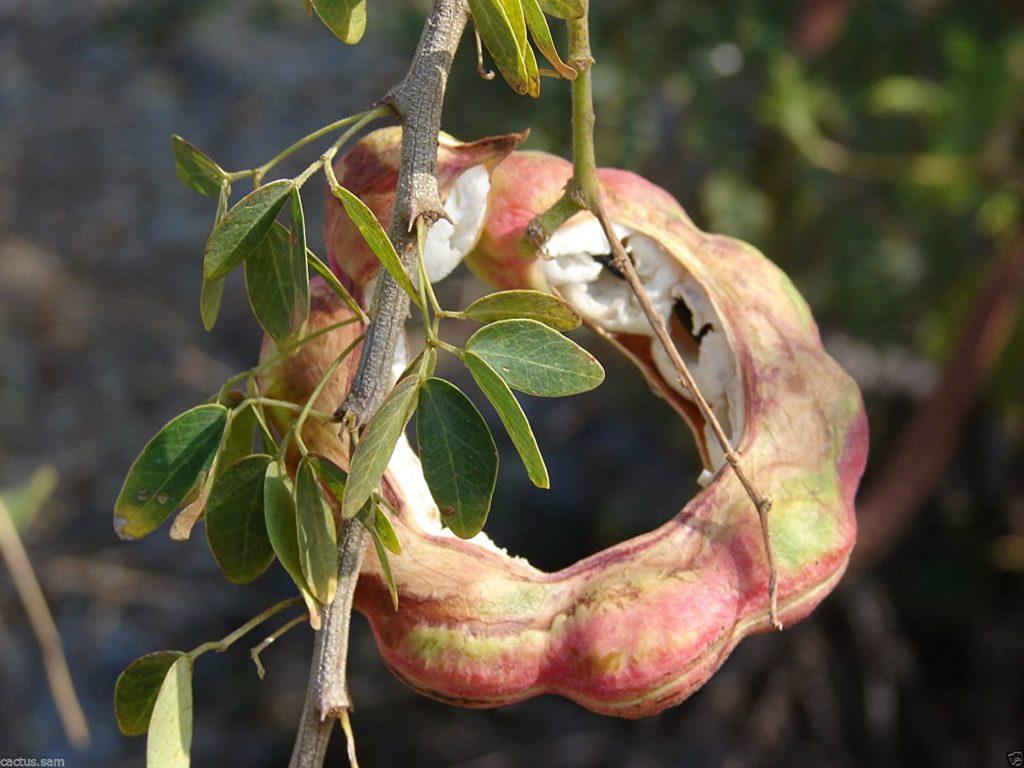 White Guamuchil 50 Seeds Pithecellobium dulce Tree Madras Thorn Manila tamarind