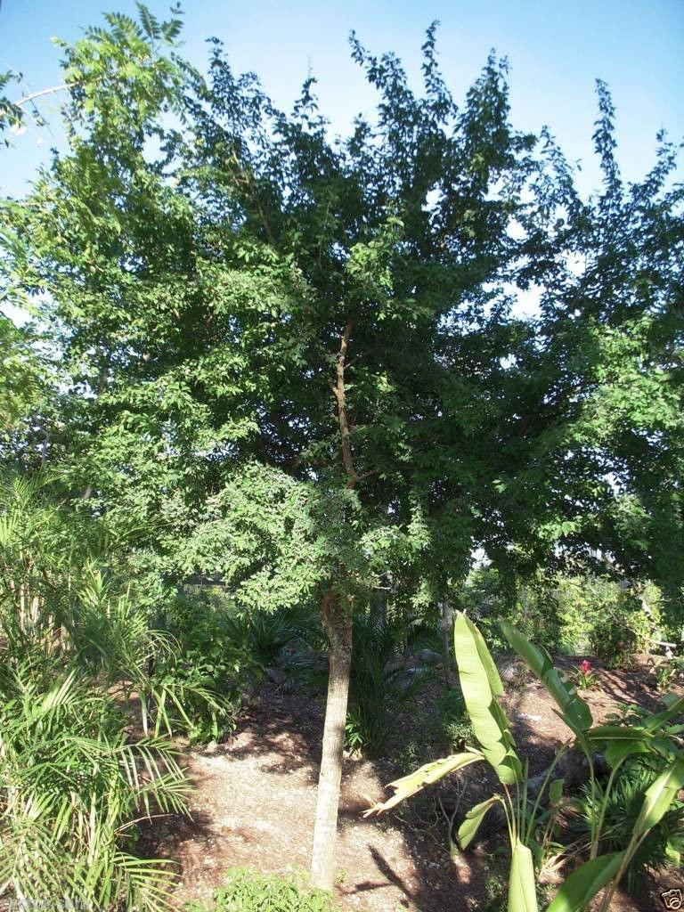 White Guamuchil 50 Seeds Pithecellobium dulce Tree Madras Thorn Manila tamarind 2
