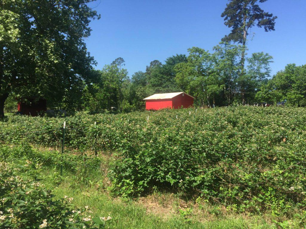 Blakelocks Berries Farms 2